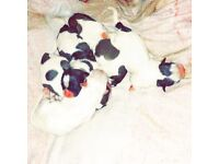 5 Shih tzu puppies 3 left