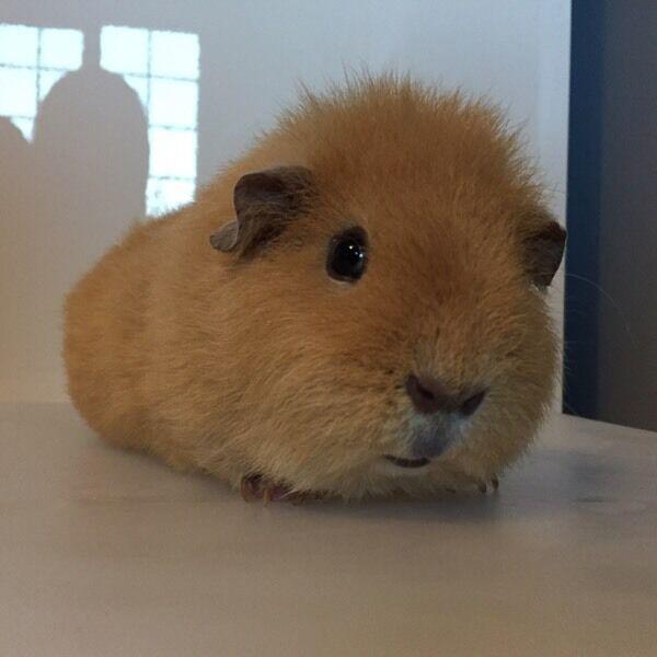 Cream Male Rex Guinea Pig For Sale