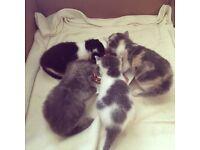 Four Beautiful Half-Persian kittens