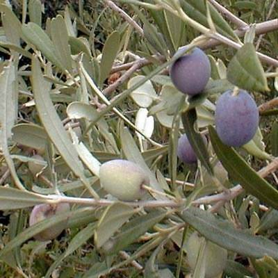 Arbequina Olive Tree Plant Cold Hardy Fruit ...