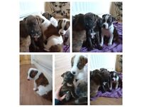 Shar pei / mastiff puppies