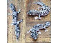 Two Female 'Super Snow' Leopard Geckos