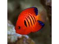 MARINE FISH / LARGE HAWAIIN FLAME ANGELFISH . VERY BRIGHT COLOURS
