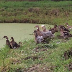 Rouen cross ducklings for sale