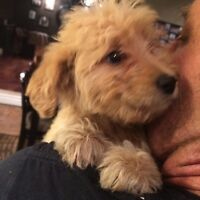 GoldenDoodle puppies. Ready. No shed/ allergy doodles