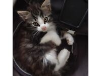 Two lovely Playful Kittens looking for a family home