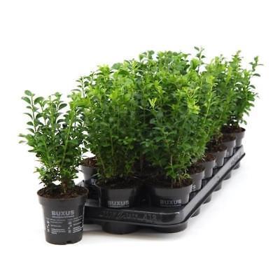 Buchsbaum 25 cm Strauch Buxus sempervirens Heckenpflanze