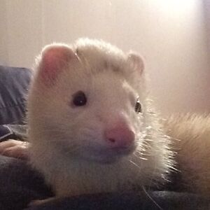 LOOKING FOR A FERRET SITTER
