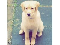 Yellow labrador 10 months old