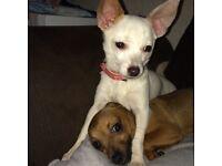 Chihuahua cross jackrussel