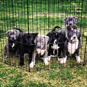 American Banddog puppies for sale !!