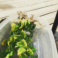 1 YEAR OLD MALE CRESTED GECKO FOR SALE
