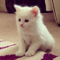 Purebred Ragdoll Kittens (all sold, contact for persian ^^)