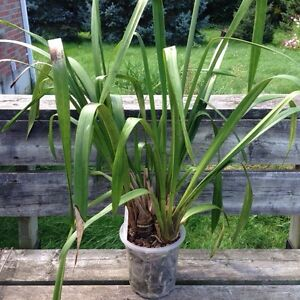 Orchid Plants for Sale London Ontario image 1