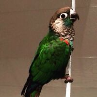 Purely Conure With Cage