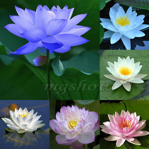 25Pcs Lotus Seed Bowl Water Lily Nymphaea Pond Pool Plants Flower Garden Home