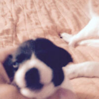 4 chiots males jack russell a vendre 400$