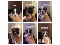 6 French bulldog puppies