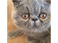 Stunning pure blue Exotic female kitten