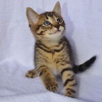 CROSS BENGAL KITTENS (ONE LEFT!) DISCOUNT UNTIL MONDAY
