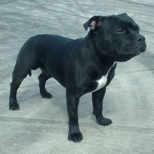 I  want a black staffy Berwick Casey Area Preview