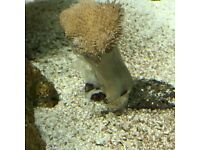 Marine 3 toadstools 2 frags and a larger toadstool