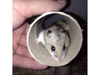 Brown Female Hamster