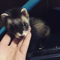 5 month old ferret for sale