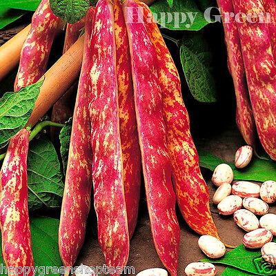 VEGETABLE - DWARF ITALIAN BORLOTTO BEAN - 75 SEEDS - LINGUA DI (Borlotto Bean)