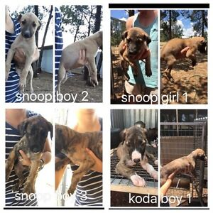 Puppies for sale Coolamon Coolamon Area Preview