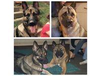 Shepkita pups for sale. German Shepherd cross Akita pups ready in 2 weeks
