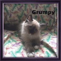 Whispurr Lane Ragdolls *Kittens Available*