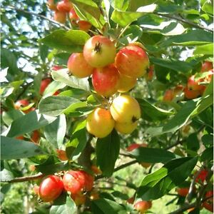 FREE Crab apples for pet pigs/ horses.