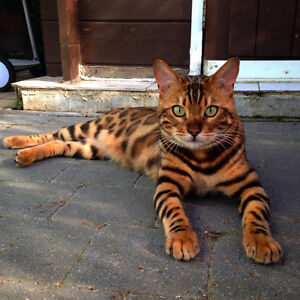 Male Bengal Fixed