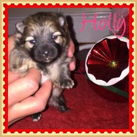 Pomeranian puppies ready for new home December