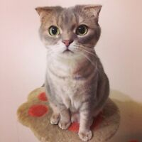 Scottish fold and American short hair cat