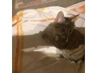 Female tabby kitten for sale