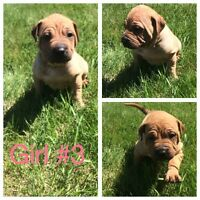 Adorable Shar Pei cross puppies for sale!!
