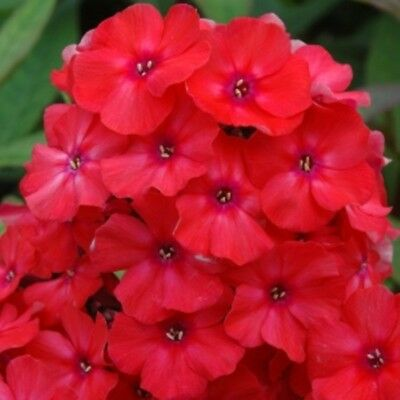 1 x Staude Flammenblume Phlox pan ORANGE PERFECTION leuchtende Farbe hoch Kübel ()