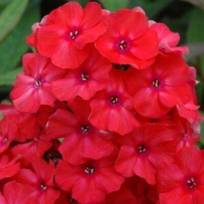 1 x Staude Flammenblume Phlox pan ORANGE PERFECTION leuchtende Farbe hoch Kübel ()