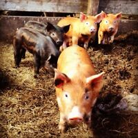 5 barrow piglets left for sale