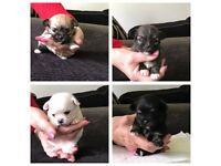 Adorable pomchi x chihuahua puppies