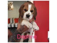 Beautiful KC registered beagle puppies