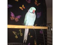 Ringneck with cage