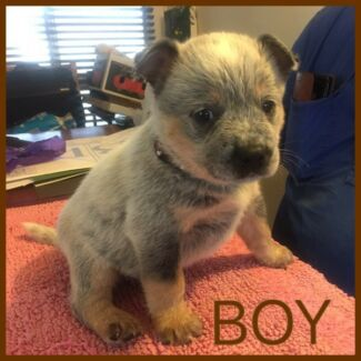 Wanted: Registered Australian cattle dog puppies