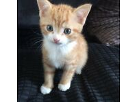 Ginger tabby and white kitten for sale