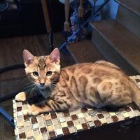 Chatons bengal brun orange enregistre tica