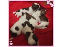 KC Registered Shih Tzu Puppies