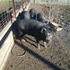 Berkshire pigs Regina Regina Area image 5