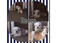 Old Tyme bulldog Victorian Puppies for sale with papers